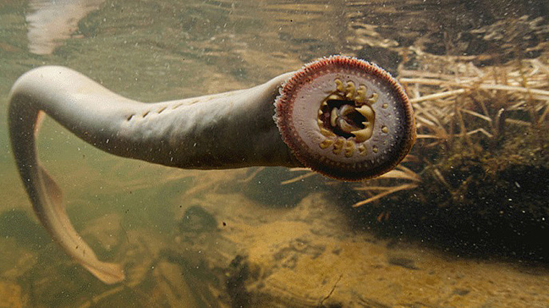 The Amazing Ancient Lamprey Columbia, What Is A Lamprey Fish